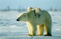 Female polar bear gives a piggy back